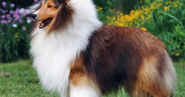 Shetland Sheepdog Collies These Dogs Should Never Be Shaved Unless Their Coat Is Matted Beyond Shetland Sheepdog Puppies Shetland Sheepdog Sheep Dog Puppy