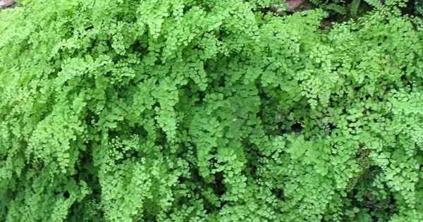 Maidenhair Fern Care How To Grow A Maidenhair Fern