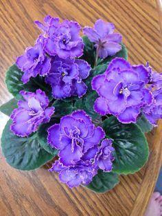 Como cuidar violetas
