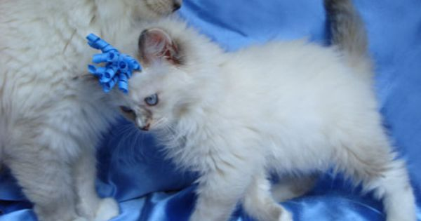 Savannah One Of Her Ragdoll Kittens Ragdoll Kitten Ragdoll Kittens For Sale Kittens