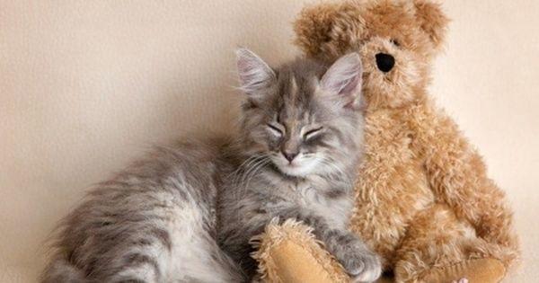 Kitten Sleeping With Teddy Bear Pisica Teddy Bear Cat Sleep Kitten Animal Cute Toy Rachael Hale Sleeping Kitten Cute Cats And Kittens Cat Sleeping