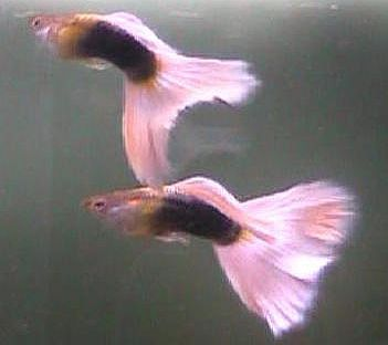 Types Of Guppies Guppies Are A Very Easy To Breed Fish Species They Also Adapt Quickly To Their Environment And This Is What M Guppy Fish Salt Water Fishing