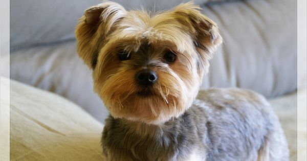 Teddy Bear Face Yorkies Teddy Bear And Haircuts