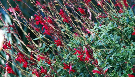 Bush Sage Salvia is an all-around great plant. It's very tough, grows