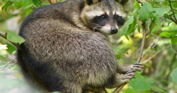 How To Get Rid Of Raccoons In Your Garden