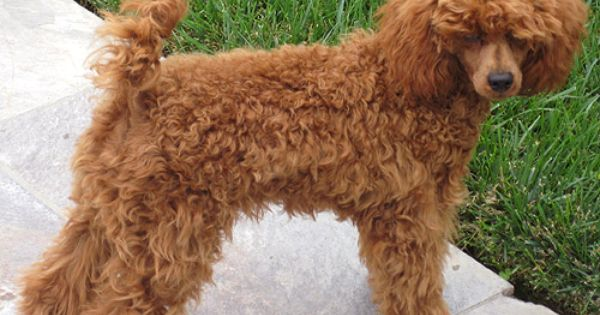 The Possible Colors In Our Upcoming Schnoodle Litter Red Poodles Schnoodle Poodle