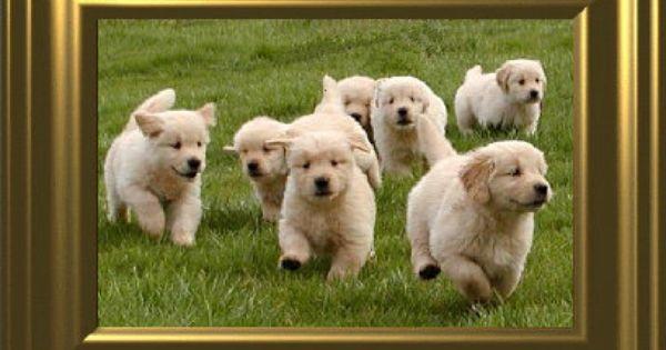 Golden Retriever Pups From My Family S Kennel Tarameg 3