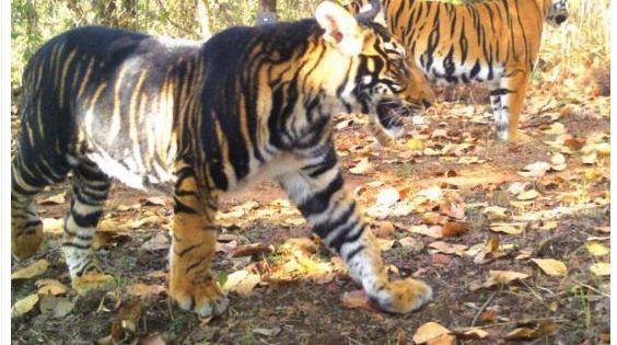 Wild Melanistic Tiger On The Similipal Tiger Reserve Picture By Way Of In 2020 Seltene Katzen Grosse Katzen Katzen