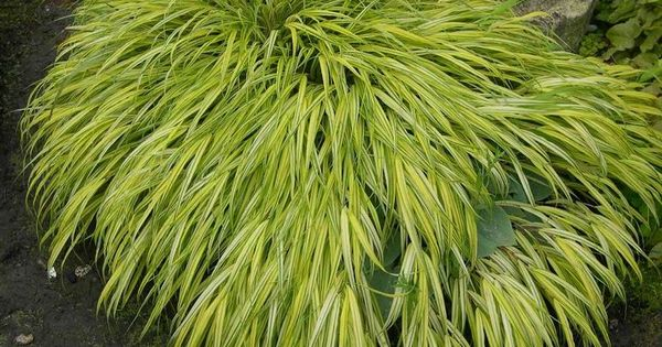 Japanese forestgrass hakonechloa 39 aureola 39 can 39 t get for Mounding grass