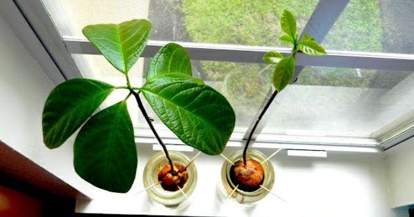 pflanzen ideen avocado am fensterbrett z chten balkon. Black Bedroom Furniture Sets. Home Design Ideas