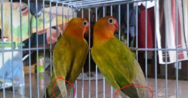Tips Membedakan Lovebird Jantan Dan Betina Burung Nusantara Burung Betina