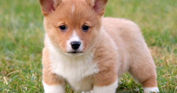 Pembroke Welsh Corgi Puppy For Sale In Mount Joy Pa Adn 55112 On Puppyfinder Com Gender Female Age 7 Weeks Old Welsh Corgi Puppies Corgi Puppy Corgi