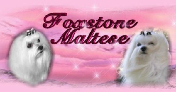 Maltese Puppies Maltese Dogs And Maltese Show Dogs From An Akc Maltese Breeder With Other Maltese Dog Maltese Puppy An Maltese Puppy Maltese Dogs Maltese