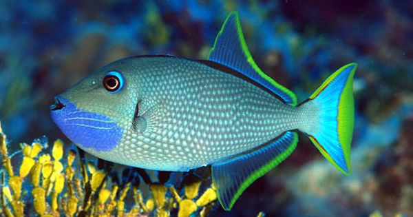 Xanthichthys Auromarginatus Sea Fish Saltwater Fish Tanks Marine Fish
