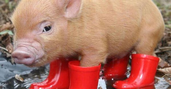 Cute Animal Pictures 150 Of The Cutest Animals Micro Pig