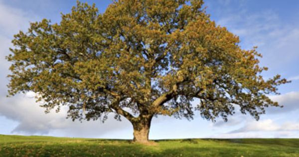 Buy Trees Online Mail Order Trees Trees Direct Buy Trees Online Tree English Oak Tree