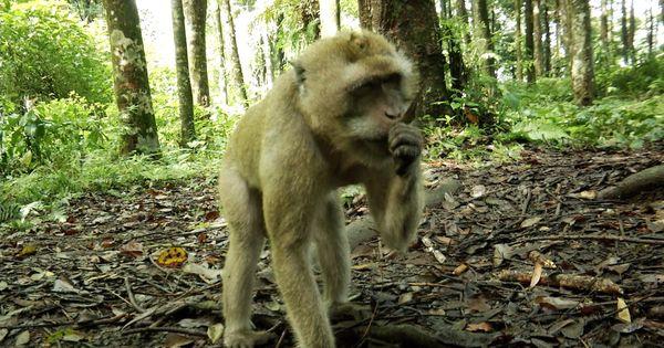 Kera Ekor Panjang Monyet Asli