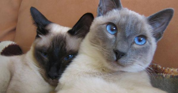 Siamese/Orientals cats.Lilac point,Seal tabby silver