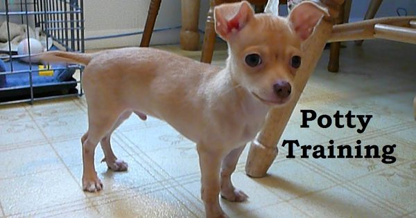 Chihuahua puppies how to potty train a chihuahua puppy for Dog potty training problems