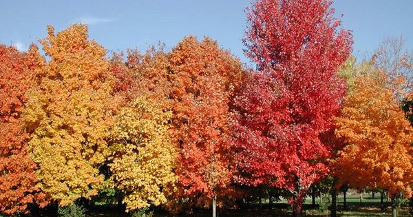 maple tree clay soil canada s national tree the sugar maple acer saccharum tolerates many soil types including