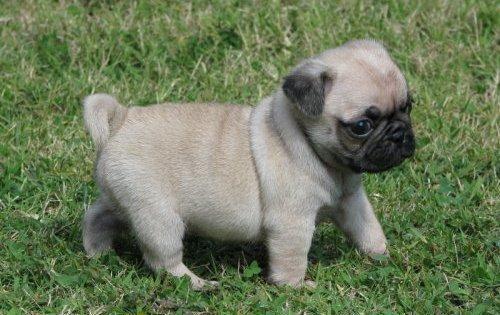 Dubizzle Dogs For Sale