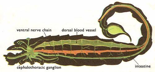 Emperor Scorpion Anatomy