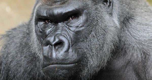 silverback gorilla strength bing images creative ideas