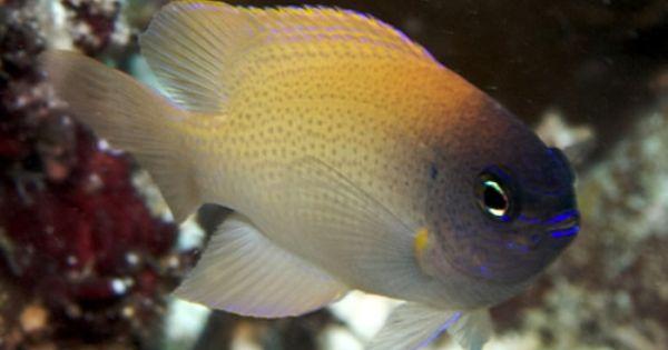 Pink damsel chrysiptera rex damsel fishes pinterest for Pink saltwater fish
