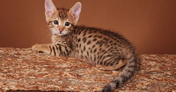 F4 Savannahs F4 Savannah Cats F4 Savannah Kittens Savannah Kitten Pretty Cats Cute Animals