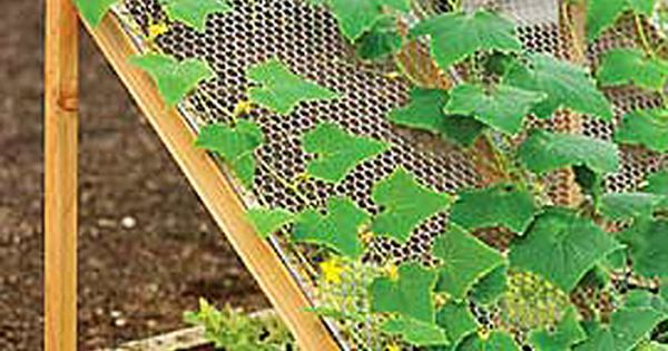 Discover Companion Planting with this Cucumber Trellis Cucumbers like it hot. Lettuce