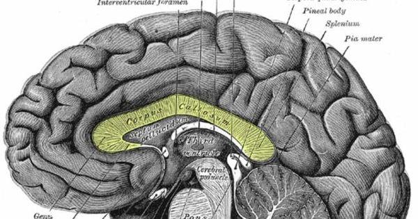 What Is the Corpus Callosum? | Fiber, Corpus callosum and As
