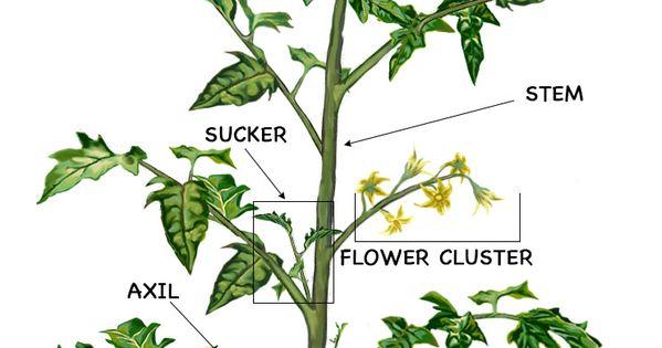 Prune Tomatoes: diagram of tomato plant   Gardening   Pinterest