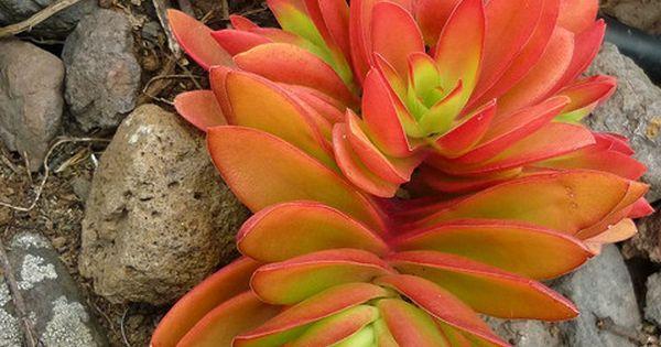 Crassula capitella 'Campfire' by Luis Borja, via Flickr succulent plants garden succulents