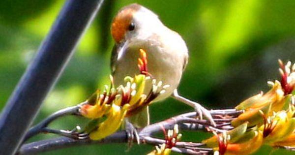 Der Seltene Birkenzeisig Birkenzeisig Zeisig Vogelarten