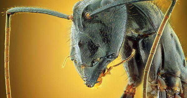 Camponotus Gigas By Shikhei Goh 500px Met Afbeeldingen Insecten Geleedpotigen