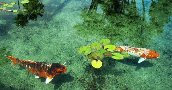 Koi fish in the lily pond balboa park san diego for Michael koi pond