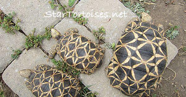 Sexing Star Tortoises Male Or Female Tortoises Tortoise Habitat Male Vs Female