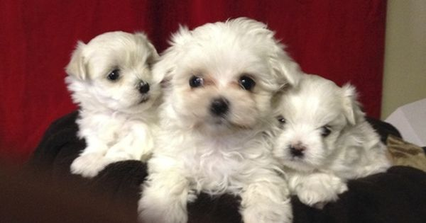 Maltese Puppy For Sale In Canonsburg Pa Adn 20785 On Puppyfinder