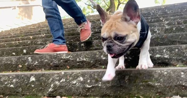 10 French Bulldog Facts That You May Find Fascinating Frenchie
