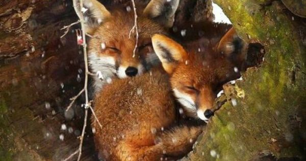 Foxes Hibernating For The Winter Beautiful Photography