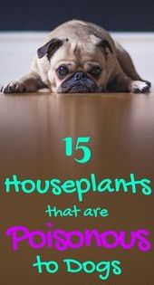 Poisonous Indoor Plants Plants That Are Poisonous To Cats And Dogs Houseplan Skincare Skin Poisonous Plants Plants Toxic To Dogs Plants Poisonous To Dogs
