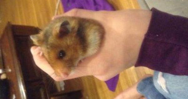 Long Haired Hamster Petsmart 15