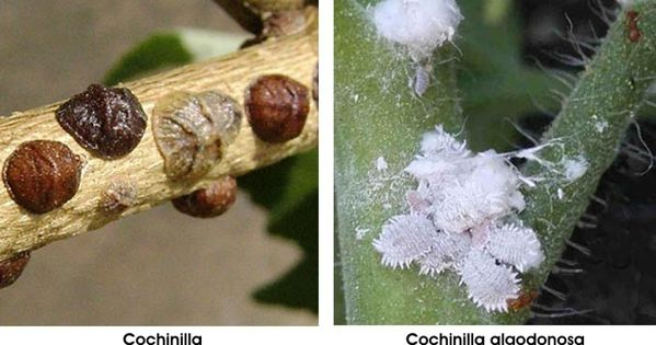 Cochinilla se trata de insectos muy da inos y pueden ser for Eliminar cochinilla algodonosa