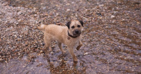 Ted Animated Gif Border Terrier Terrier Dogs Terrier