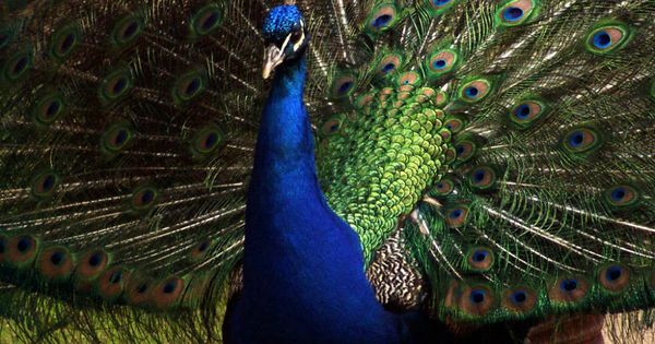Peacock For Sale In Pakistan Karachi Lahore Islamabad Funny Looking Animals Funny Animal Images Funny Animal Photos