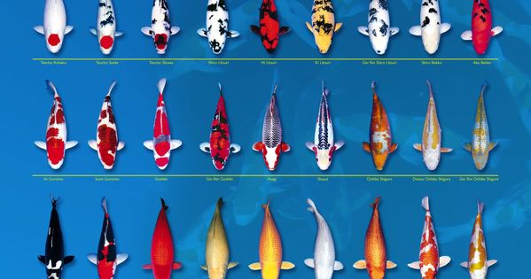 Koi chart koi fish pinterest charts and koi for Koi fish color meaning chart