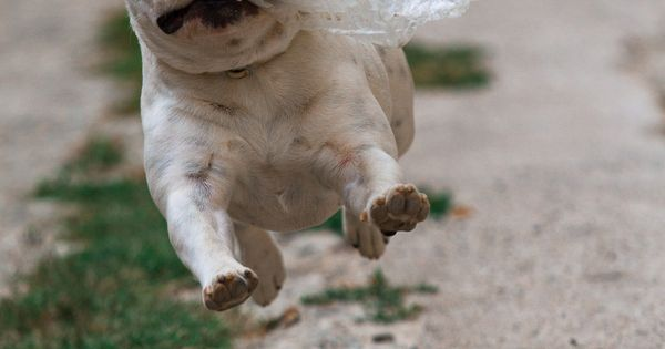 I got the bag, I got the bag !! Funny French Bulldog.