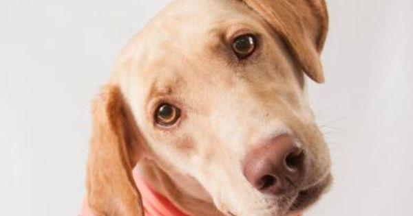 Adopt Sahara A Lovely 3 Years Dog Available For Adoption At Petango Com Sahara Is A Retriever Labrador And Is Available At Puppy Adoption Dogs Rescue Dogs