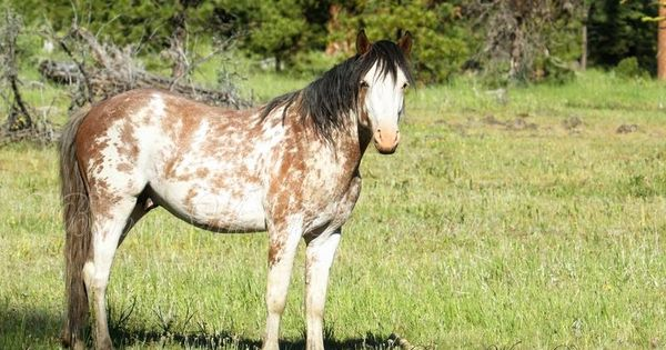 crazy coat pattern on this wild horse