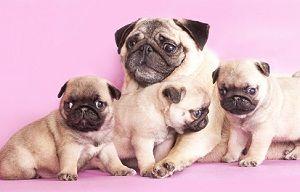 How To Care For Newborn Puppies Newborn Puppies Baby Pugs Pugs